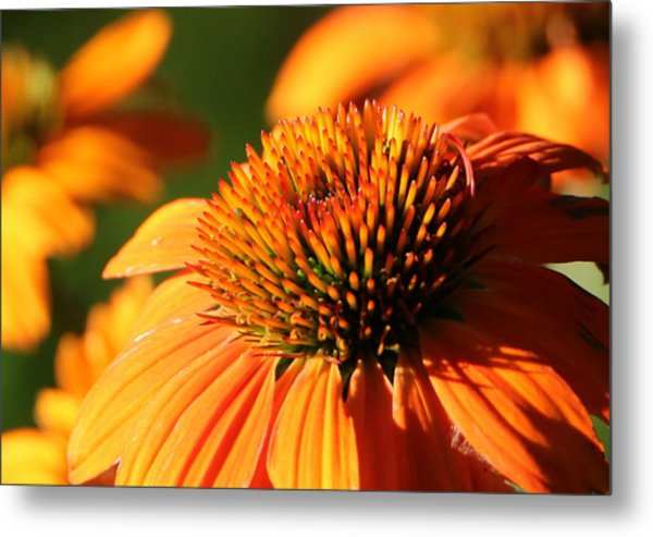 Orange Coneflower At First Light Metal Print