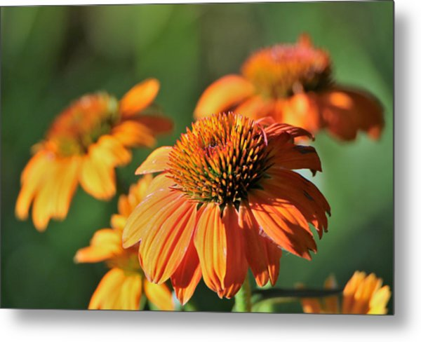 Orange Cone Flowers In Morning Light Metal Print