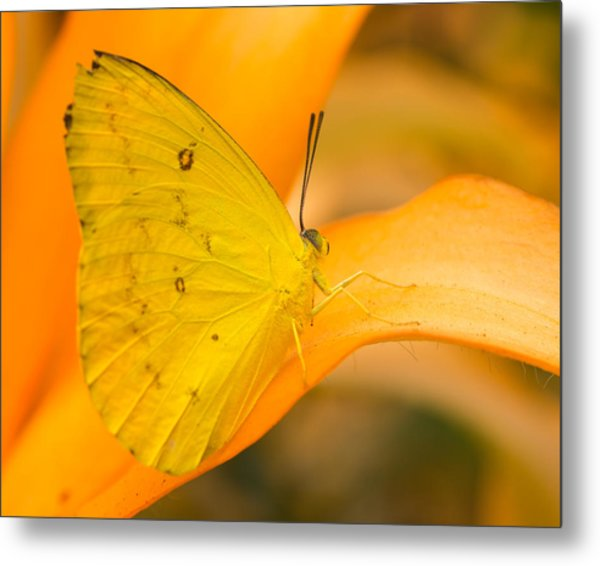 Orange Emigrant Butterfly Metal Print