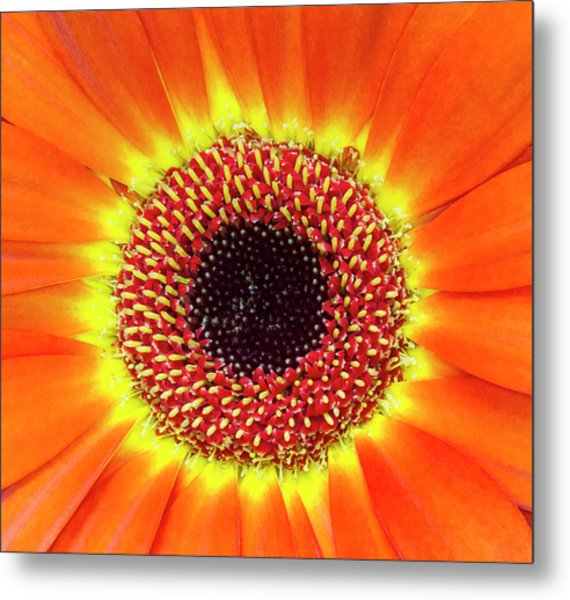 Orange Flower Macro Metal Print