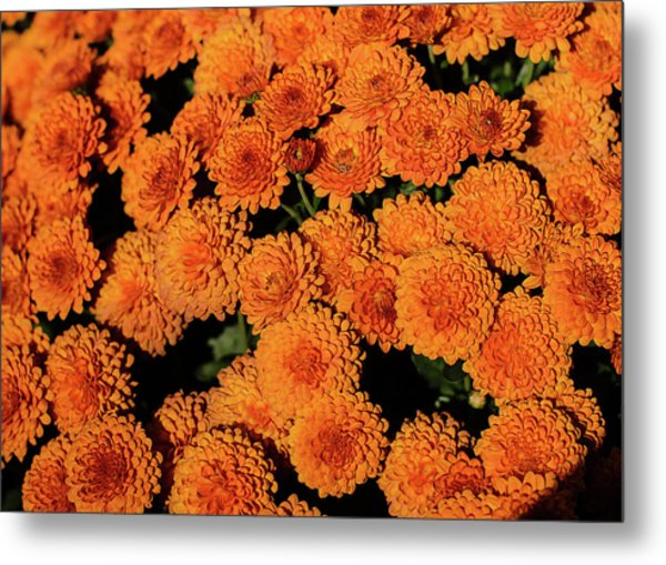Orange Flowers Metal Print