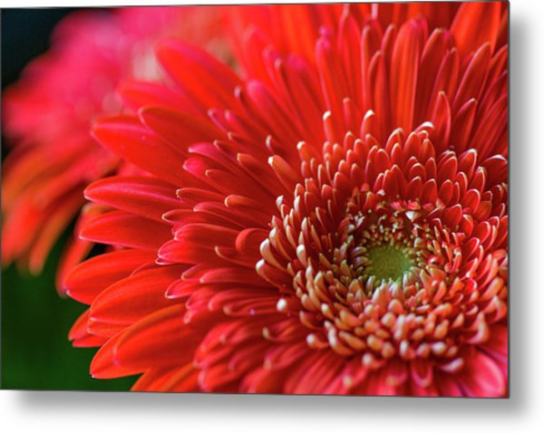 Metal Print featuring the photograph Orange Gerbera by Clare Bambers