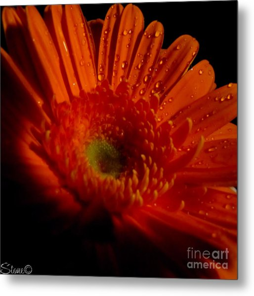 Orange Gerbera Metal Print