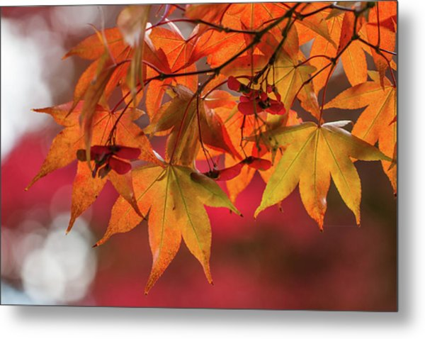 Metal Print featuring the photograph Orange Maple Leaves by Clare Bambers