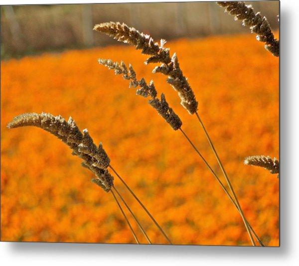 Orange Marigolds Metal Print by Liz Vernand