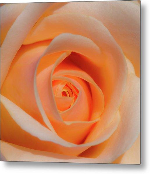 Orange Rose Metal Print