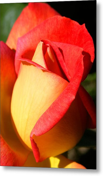 Orange Rosebud Metal Print by PIXELS  XPOSED Ralph A Ledergerber Photography