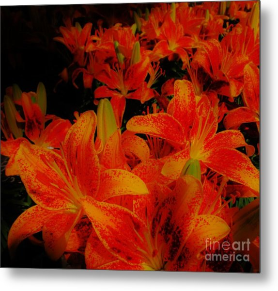 Spicey Tiger Lilies Metal Print