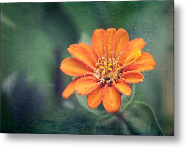 Orange Zinnia Metal Print