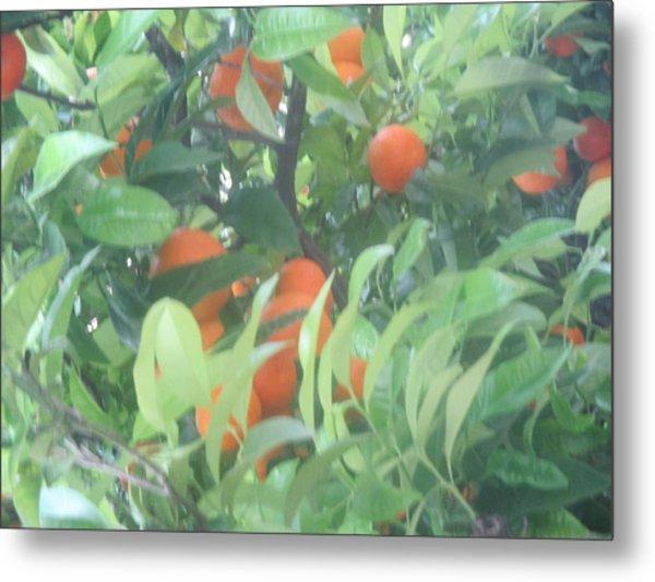Oranges On The Tree Metal Print