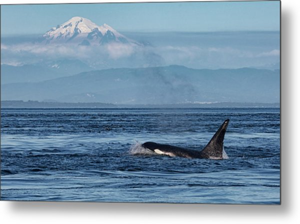 Orca Male With Mt Baker Metal Print