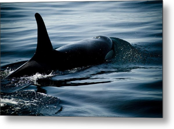 Orca Whale Metal Print