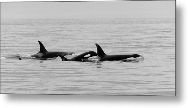 Orcas Bw Metal Print