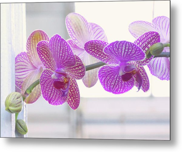 Orchid Spray Metal Print