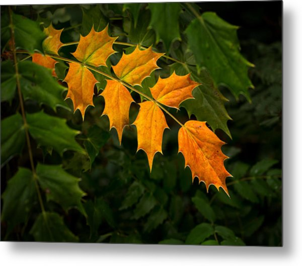 Oregon Grape Autumn Metal Print