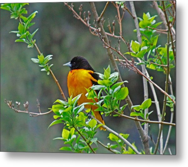 Oriole On The Lilac Metal Print