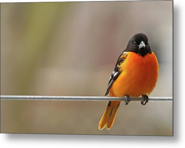 Oriole On The Line Metal Print