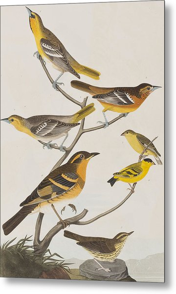 Orioles Thrushes And Goldfinches Metal Print