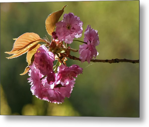 Ornamental Cherry Blossoms - Metal Print