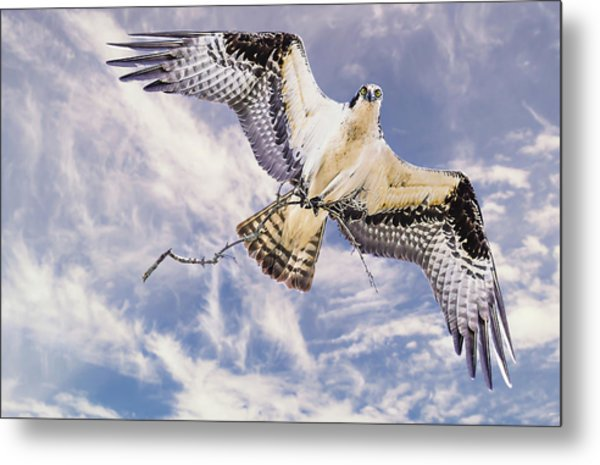 Osprey Building Nest Metal Print