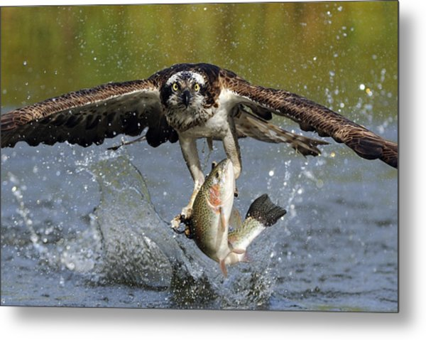 Osprey Catching Trout Metal Print