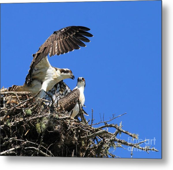 Osprey Chicks Ready To Fledge Metal Print