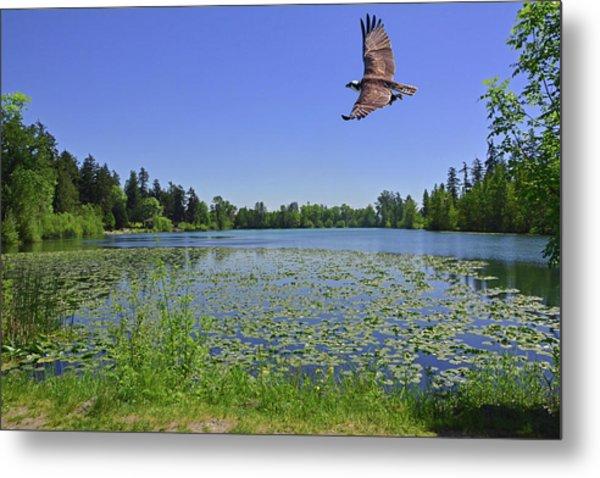 Osprey Fishing At Wapato Lake Metal Print