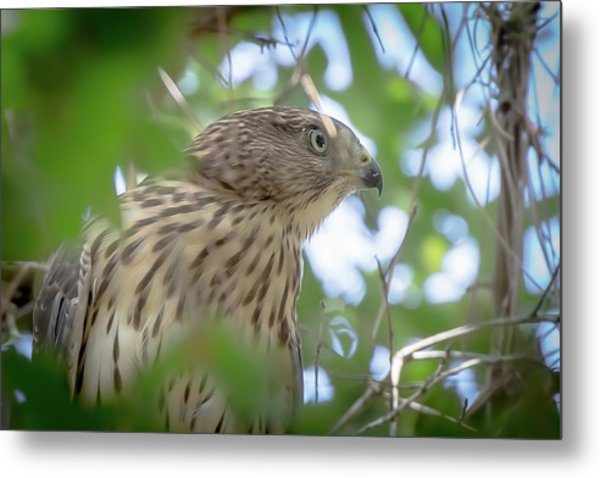Red-shouldered Hawk Fledgling 1 Metal Print