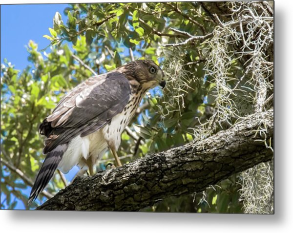Red-shouldered Hawk Fledgling - 4 Metal Print