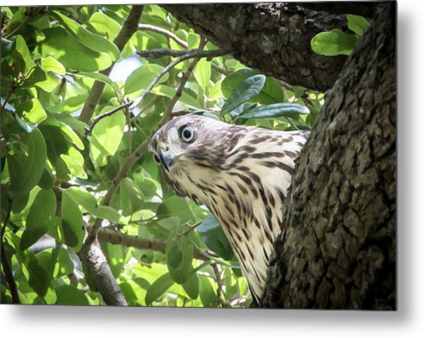 Red-shouldered Hawk Fledgling - 5 Metal Print