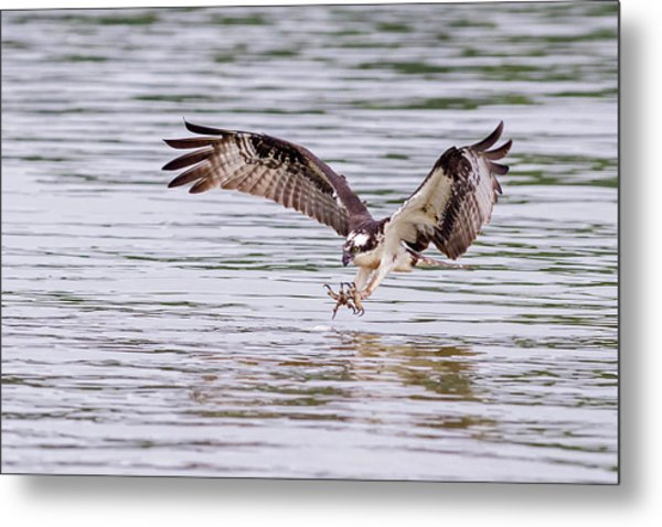 Metal Print featuring the photograph Osprey Going For Breakfast by Lori Coleman