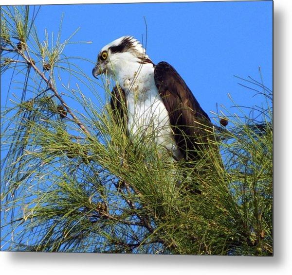 Osprey In Tree Metal Print