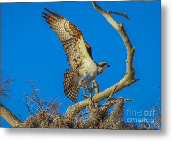 Osprey Landing On Branch Metal Print