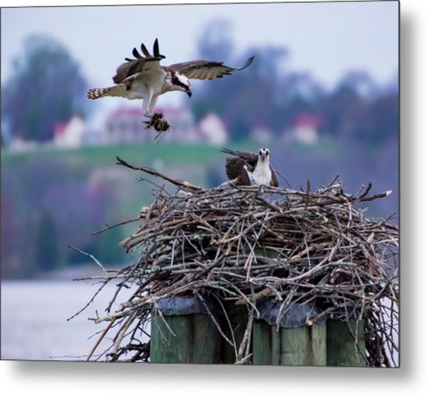 Osprey Nest Building Metal Print