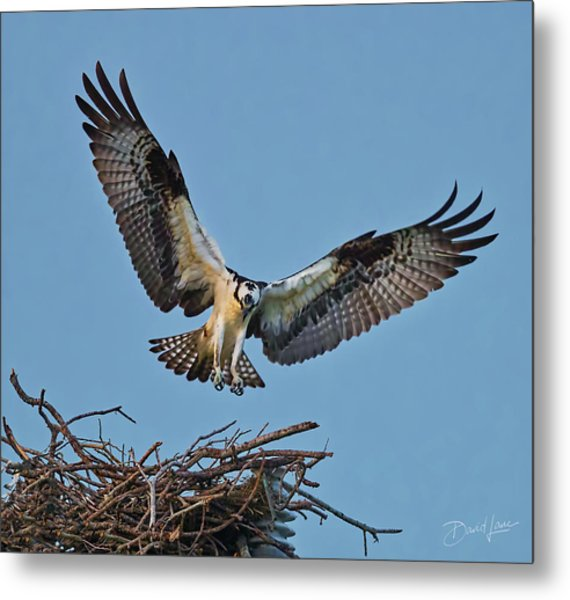 Metal Print featuring the photograph Osprey Nest Landing by David A Lane