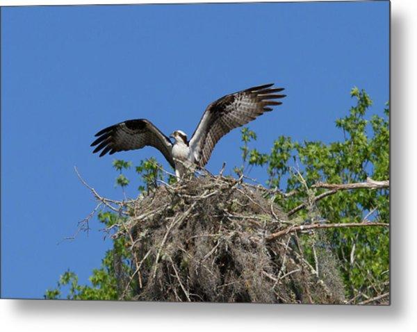 Osprey On Nest Wings Held High Metal Print