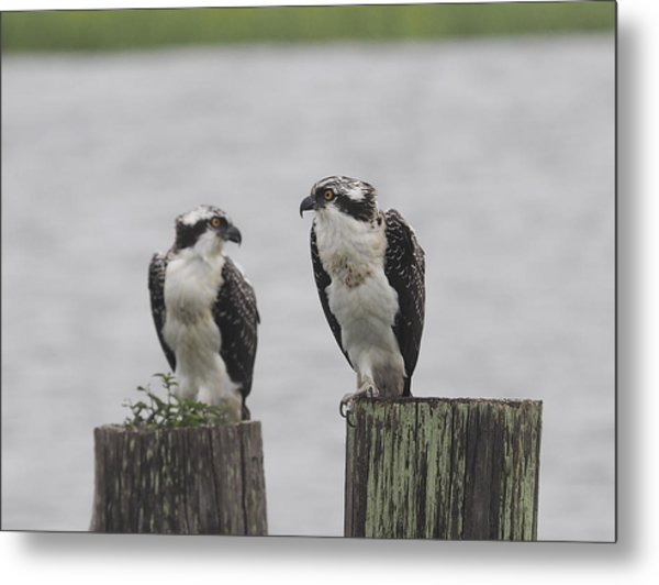 Osprey On Nj Shore 2014 Metal Print