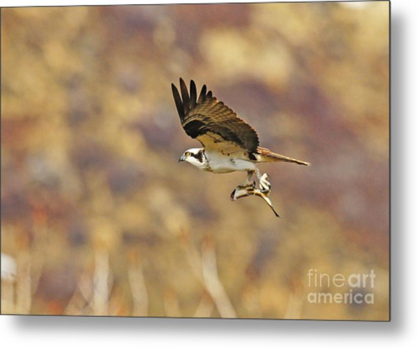Osprey On The Wing With Fish Metal Print by Dennis Hammer