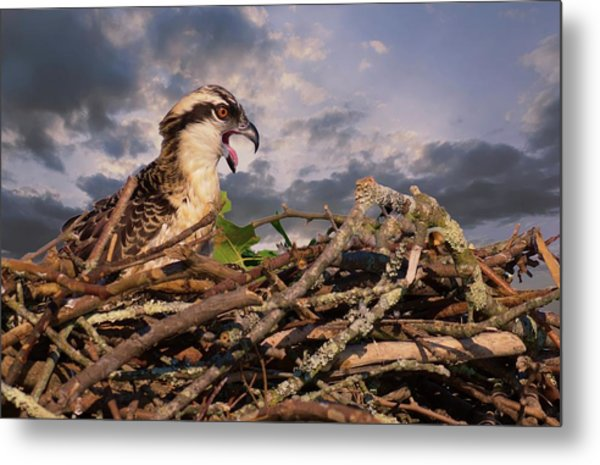 Osprey Talk Metal Print