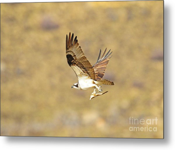 Osprey With Fish Metal Print by Dennis Hammer