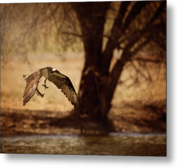 Osprey With Lunch Metal Print