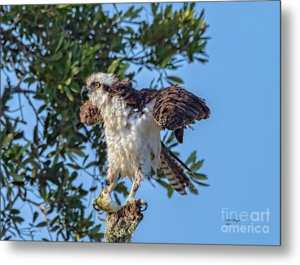 Osprey With Meal Metal Print