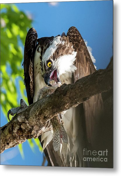 Osprey With Prey Metal Print