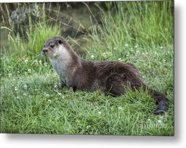 Otter By The Water Metal Print by Philip Pound
