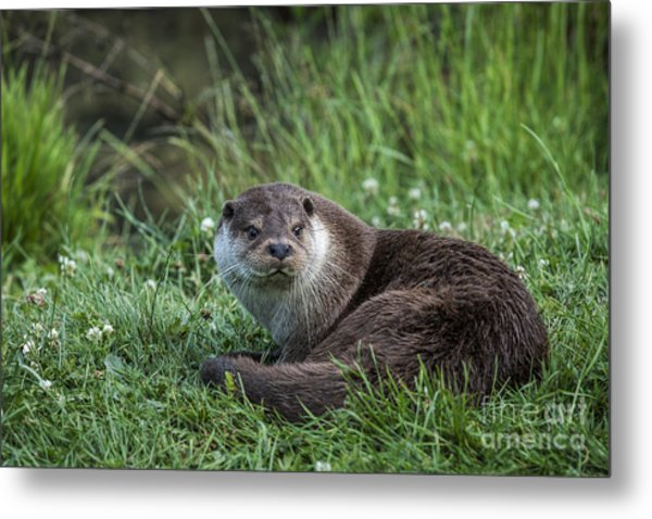 Otter On The Grass Metal Print by Philip Pound