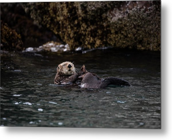 Otter Playing In The Bay Metal Print