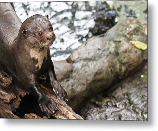 Otter Surprise Metal Print