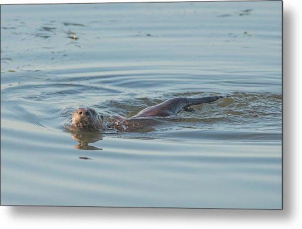 Otter Swimming Metal Print by Loree Johnson