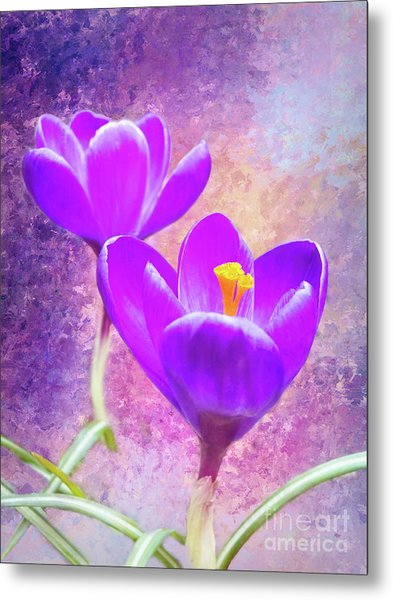 Our First Crocuses This Spring Metal Print