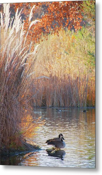Sanctuary, Canadian Geese Metal Print